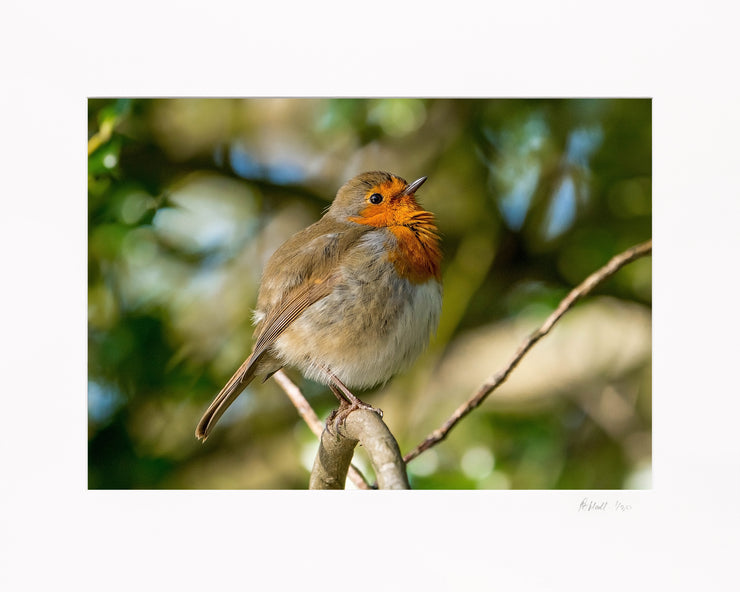 Simply a Robin Limited Edition Print by Rob Hall Mounted