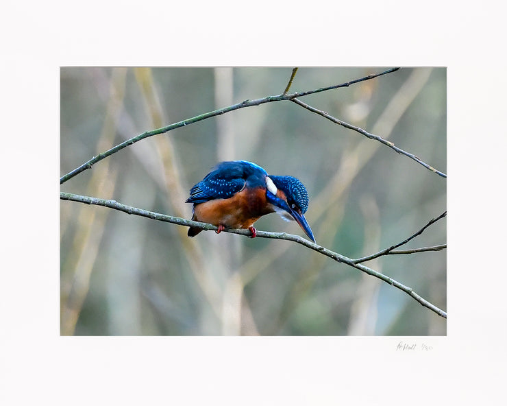 A Poised Kingfisher Limited Edition Print by Rob Hall Mounted