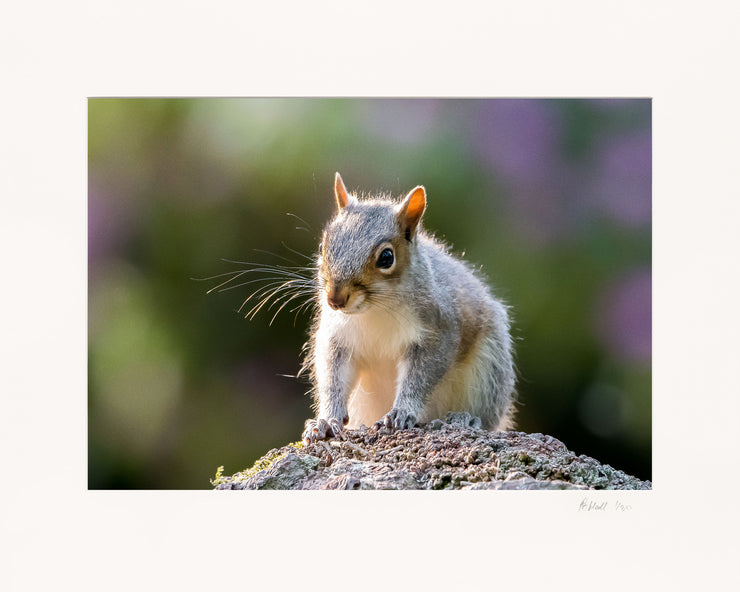 Mr Grey Squirrel Limited Edition Print by Rob Hall Mounted