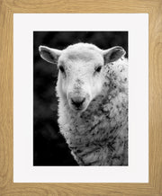 Sheep 1 Limited Edition Print by Neil Murray Oak Frame