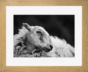 Sheep 2 Limited Edition Print by Neil Murray Oak Frame