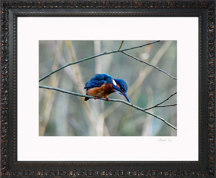A Poised Kingfisher Limited Edition Print by Rob Hall Ornate Black Frame