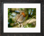 Simply a Robin Limited Edition Print by Rob Hall Ornate Black Frame