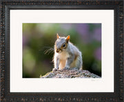 Mr Grey Squirrel Limited Edition Print by Rob Hall Ornate Black Frame
