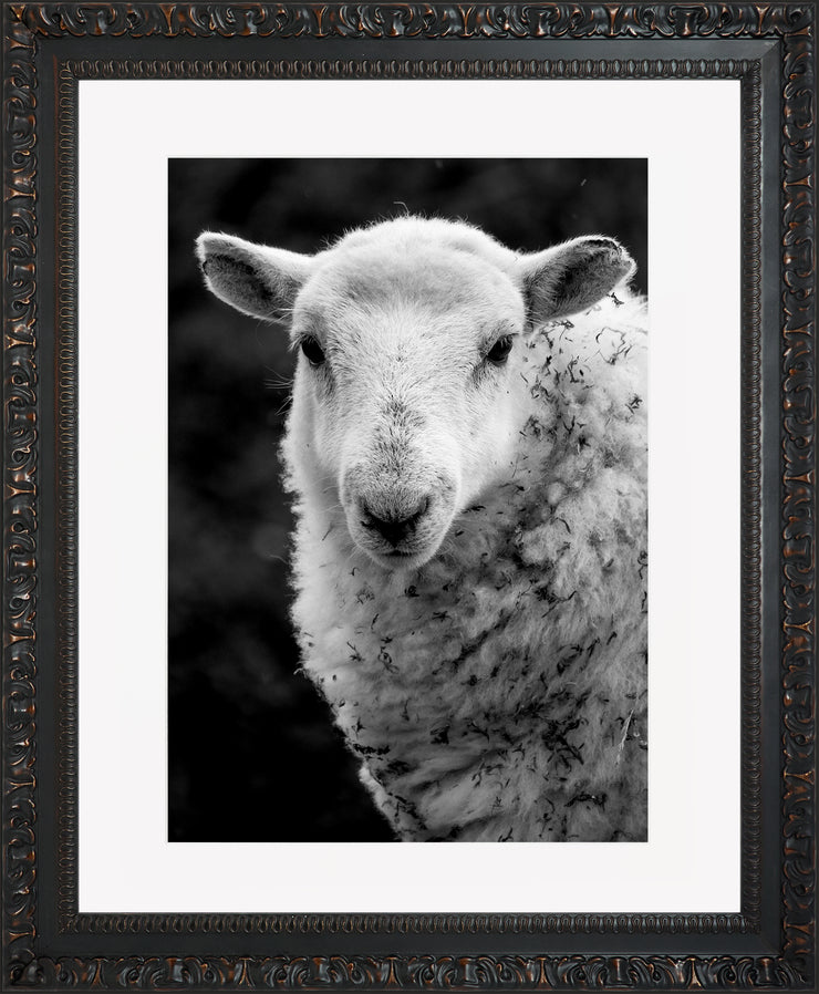 Sheep 1 Limited Edition Print by Neil Murray Ornate Black Frame