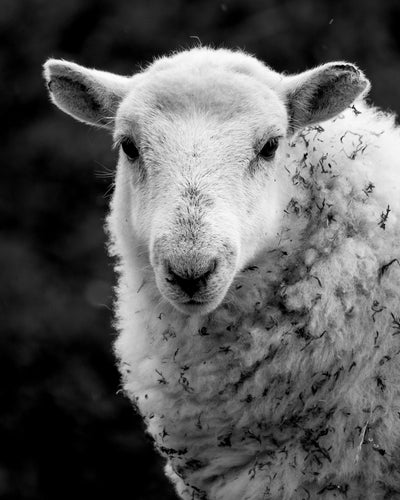Sheep 1 Limited Edition Print by Neil Murray