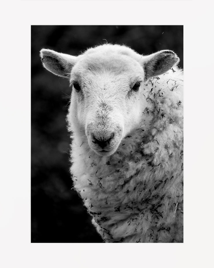 Sheep 1 Limited Edition Print by Neil Murray Mounted