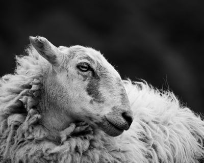 Sheep 2 Limited Edition Print by Neil Murray