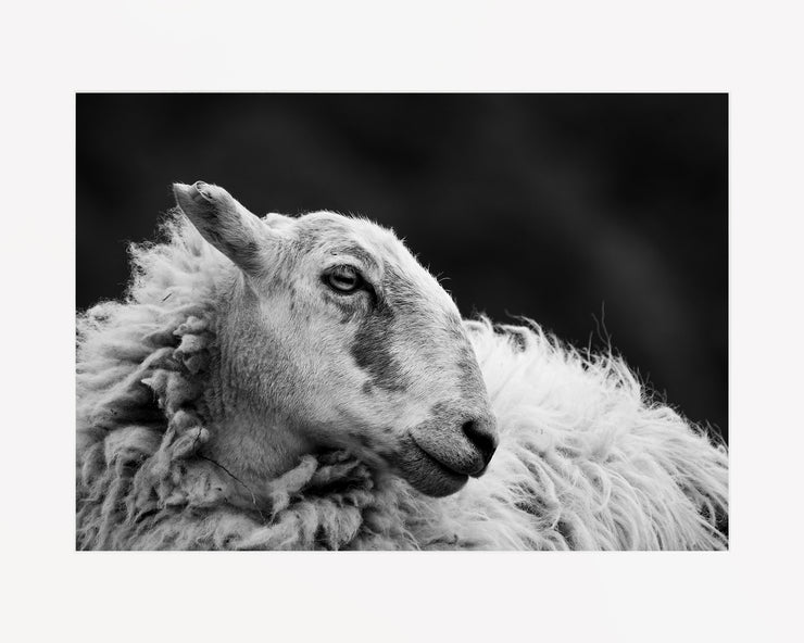 Sheep 2 Limited Edition Print by Neil Murray Mounted