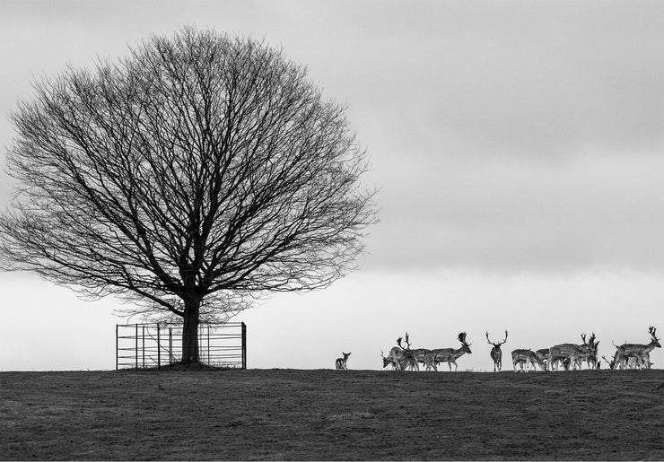 Stags on the Horizon Limited Edition Print by Rob Hall