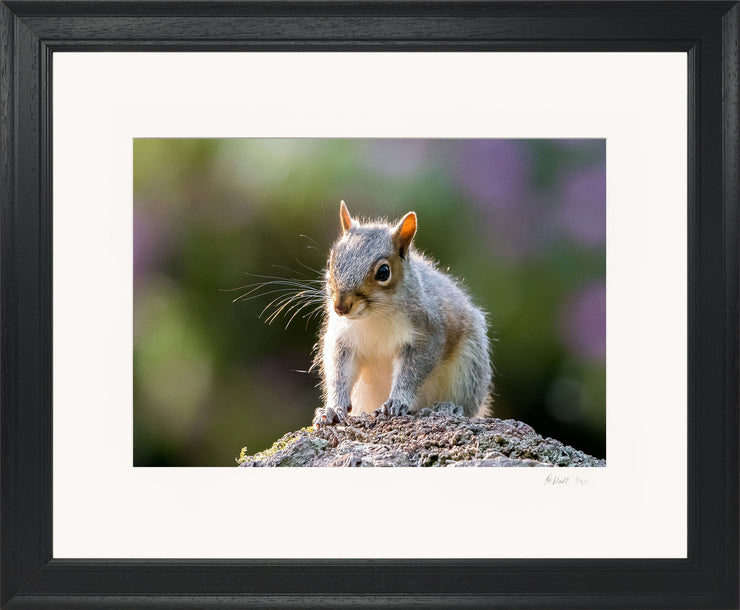 Mr Grey Squirrel Limited Edition Print by Rob Hall Black Frame