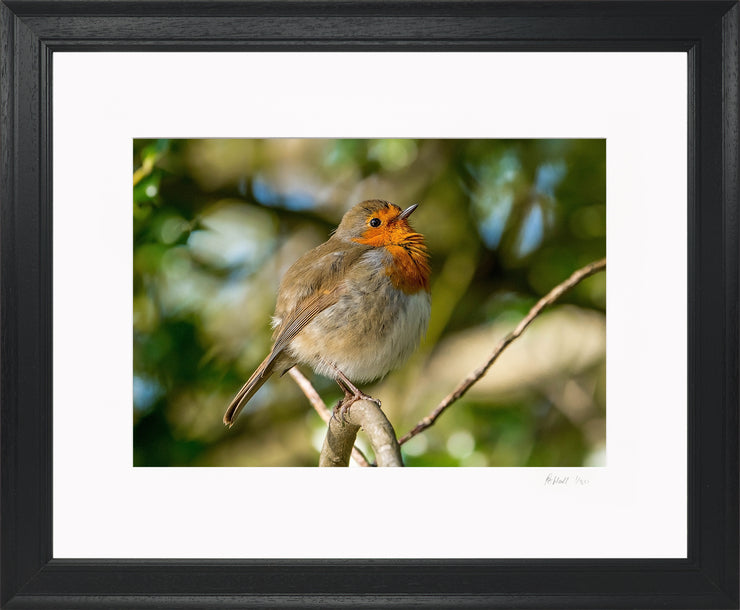 Simply a Robin Limited Edition Print by Rob Hall Black Frame