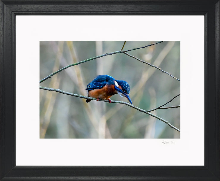 A Poised Kingfisher Limited Edition Print by Rob Hall Black Frame