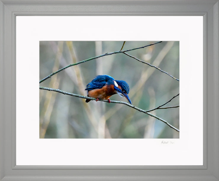 A Poised Kingfisher Limited Edition Print by Rob Hall Grey Frame