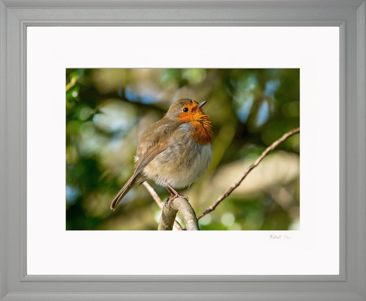Simply a Robin Limited Edition Print by Rob Hall Grey Frame