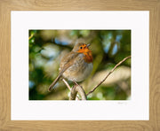 Simply a Robin Limited Edition Print by Rob Hall Oak Frame