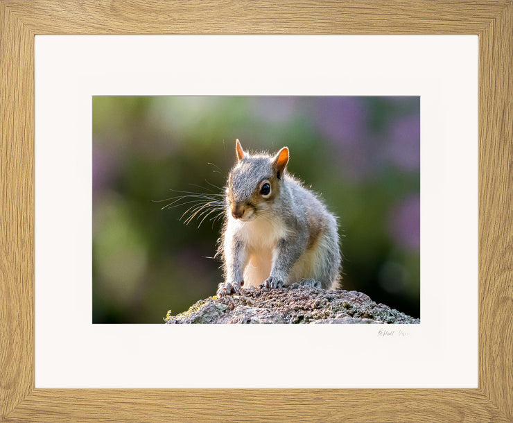 Mr Grey Squirrel Limited Edition Print by Rob Hall Oak Frame