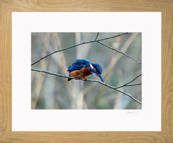 A Poised Kingfisher Limited Edition Print by Rob Hall Oak Frame