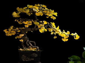 BONSAI GINKO BILOBA. Shop and Give Back to the Jane Goodall Institute. - [Epicurus Life] online shopping, ginkgo biloba, ginkgo