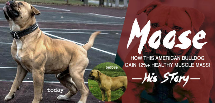 "How ""Moose"" an American Bulldog Gained 12%+ Of Healthy Muscle."