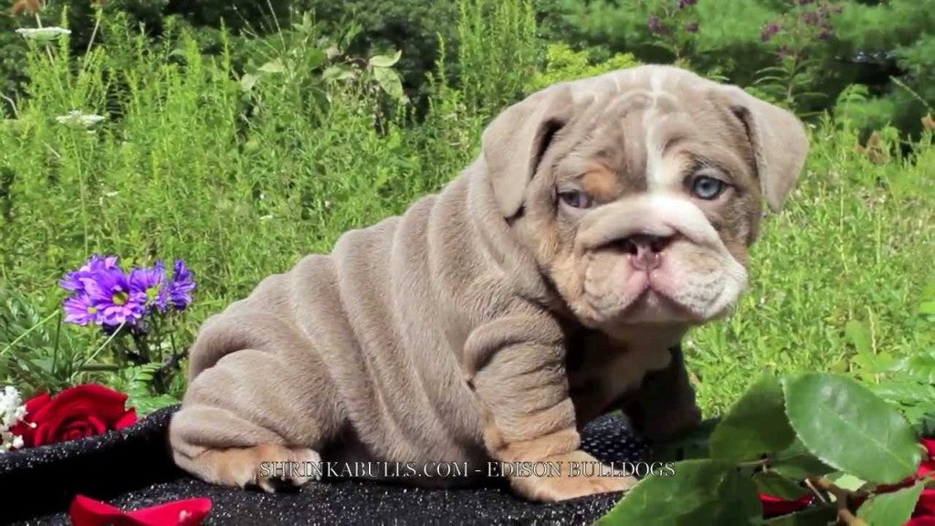 Lilac English bulldog courtesy of Shrinka Bulldogs
