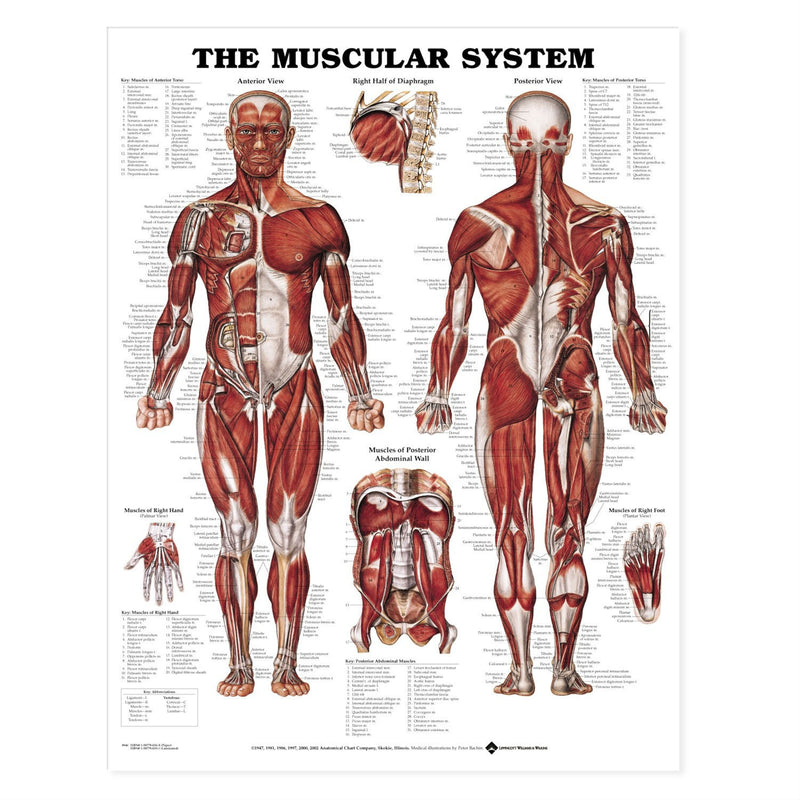 "ANAT Poster, Muscular System, 20""x26"", Laminated"