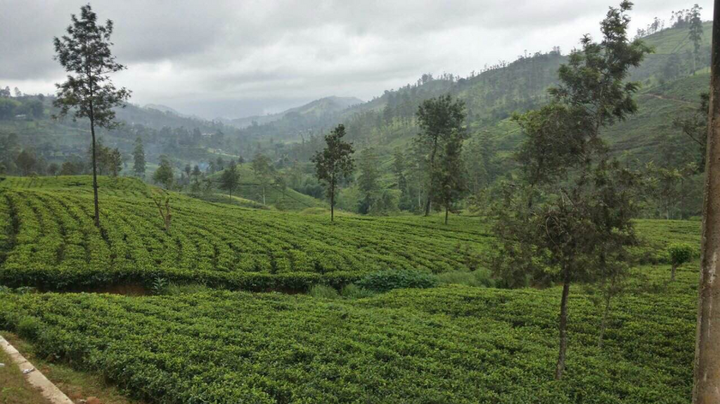 Tea Direct From The Fields In Sri Lanka