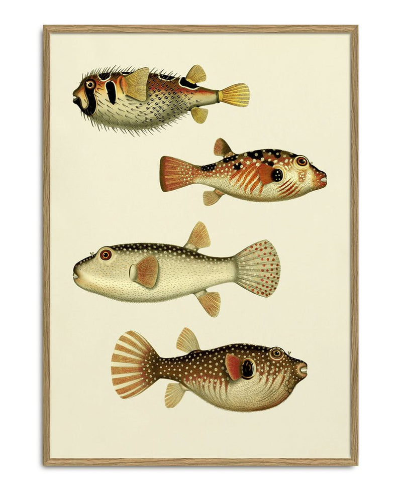 Poster Print PUFFERFISH