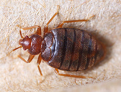 adult bed bug after feeding