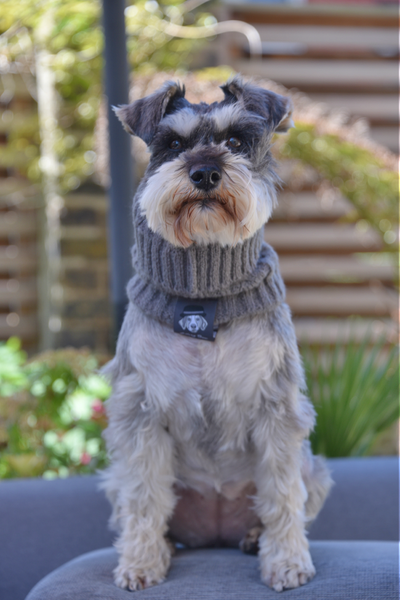 Ellery Bow snood in Grey_Daphne the Schnauzer