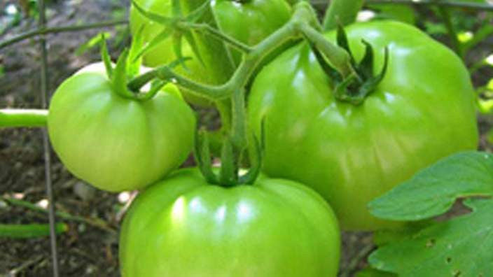 Vegetables: Tomatoes (Green)
