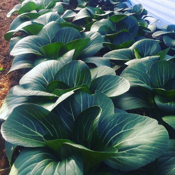 Vegetables: Bok Choy - LIMITED