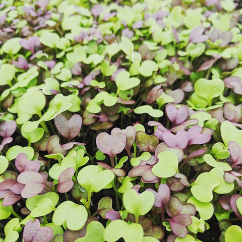 Shoots and Sprouts: Microgreens