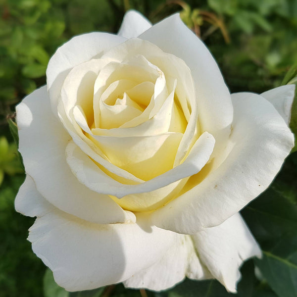 Rose, White Rare (Bio-Certified)