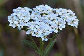 BULK Yarrow (Bio-Certified)