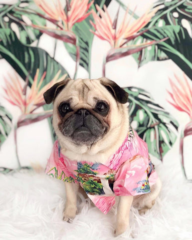 Hawaiian Shirt for Pug Dogs by Dog Threads