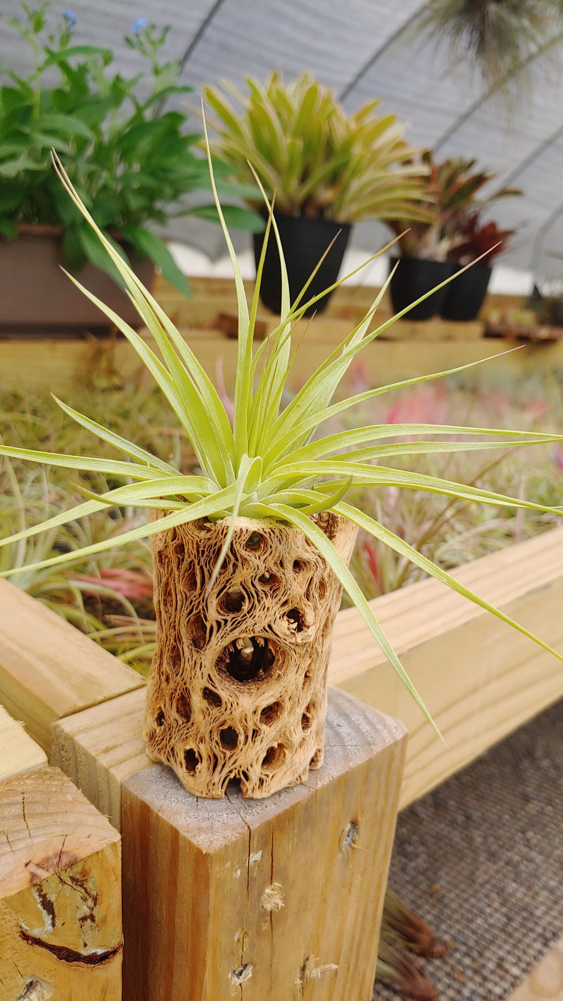 WYSIWYG D104 Cholla Wood + Stricta