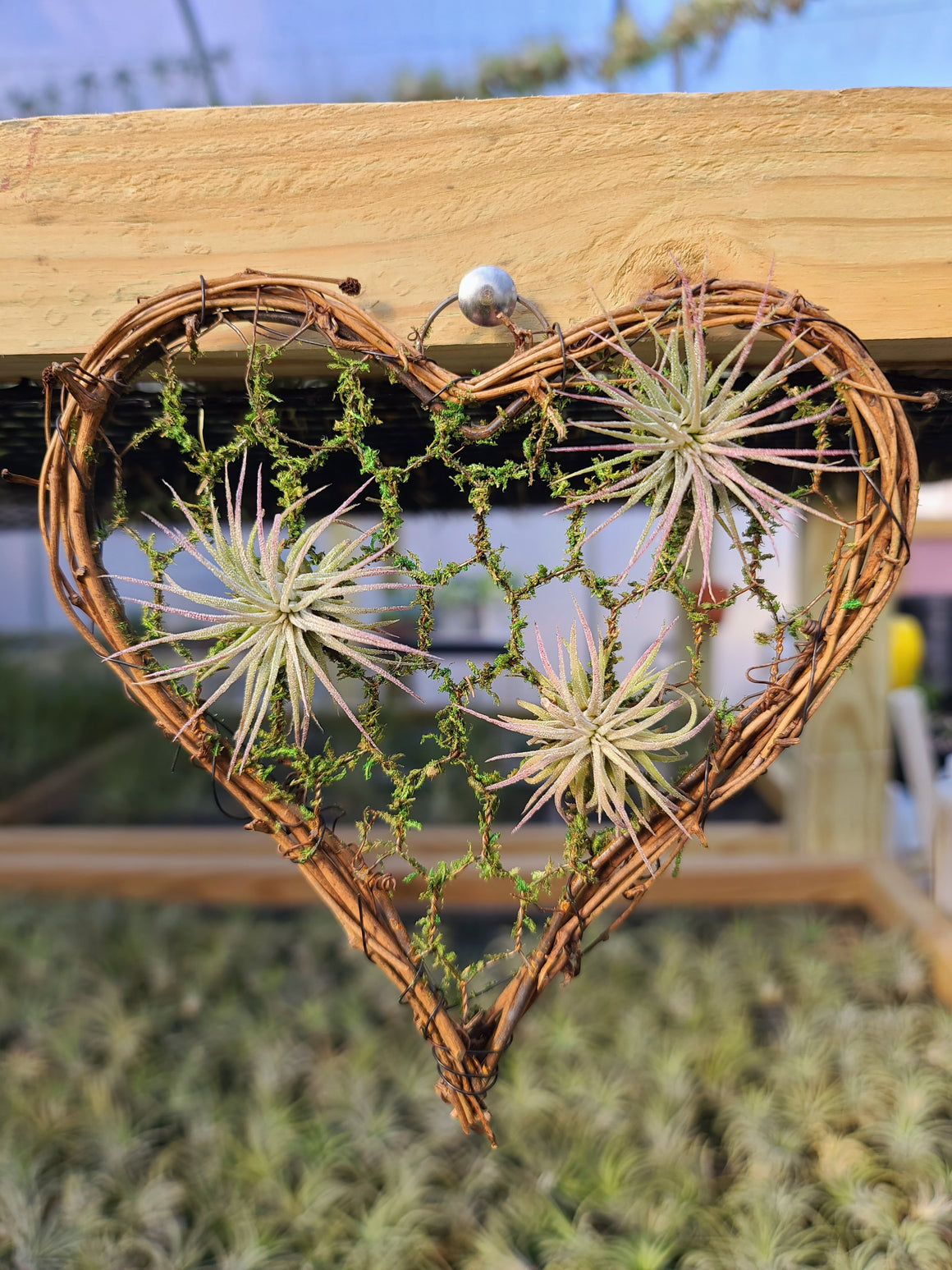 Wire Heart Plant Holder with 3 Ionantha