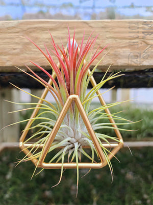 Geo Wall Holder with Airplant