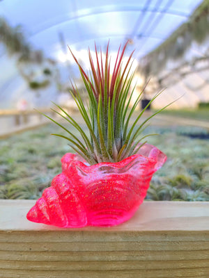 Acrylic Seashell with Airplant