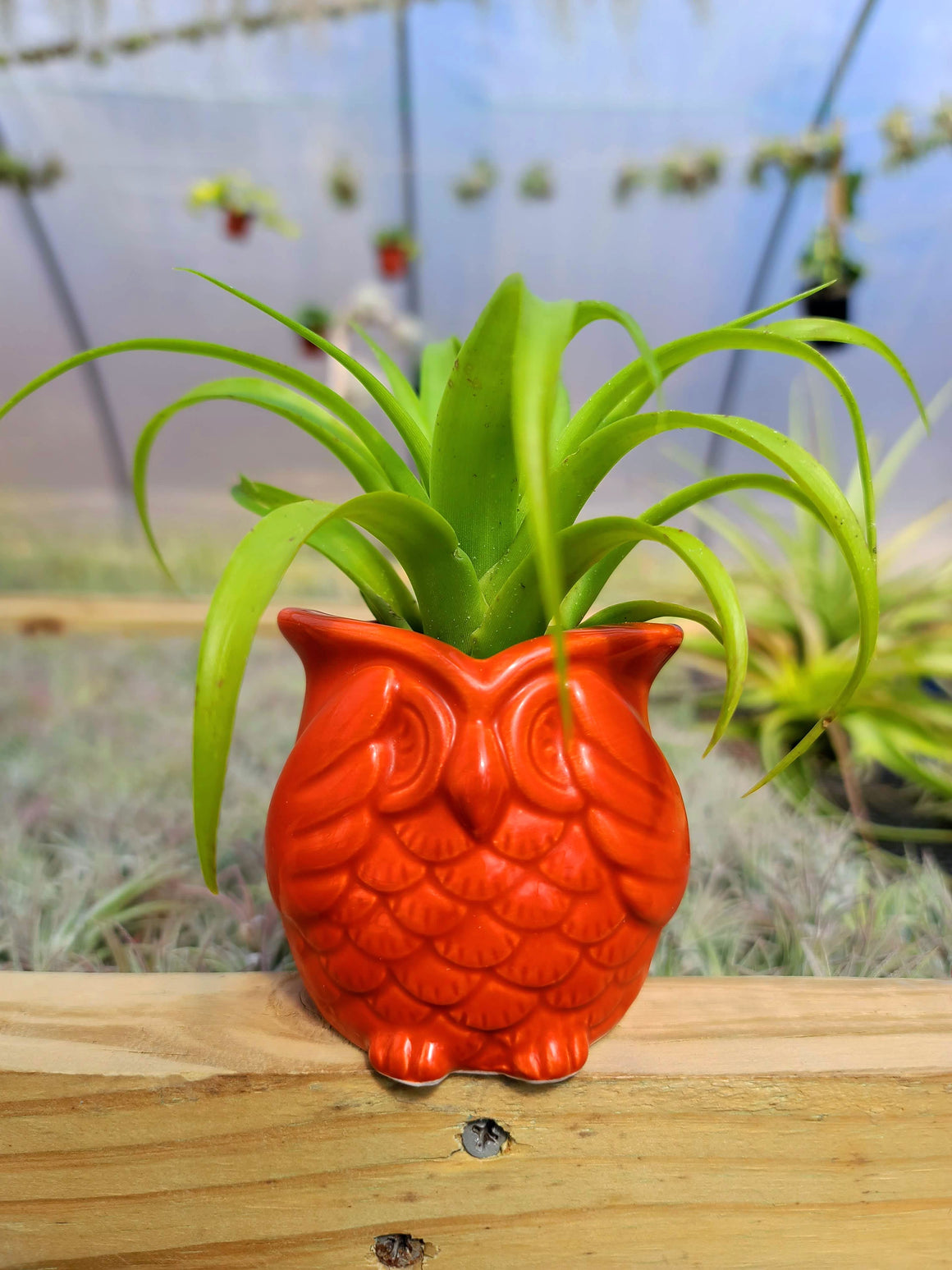 Orange Ceramic Owl + Brachycaulos Burgundy