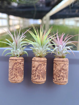 3 Magnetic Wine Corks + 3 Airplants