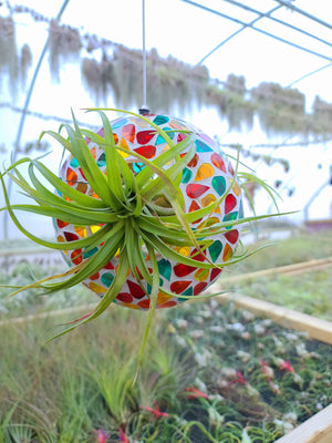 Stained Glass Holder + 2 Brachycaulos Select