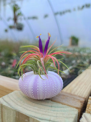 Purple Urchin Air Plant Holder with Plant
