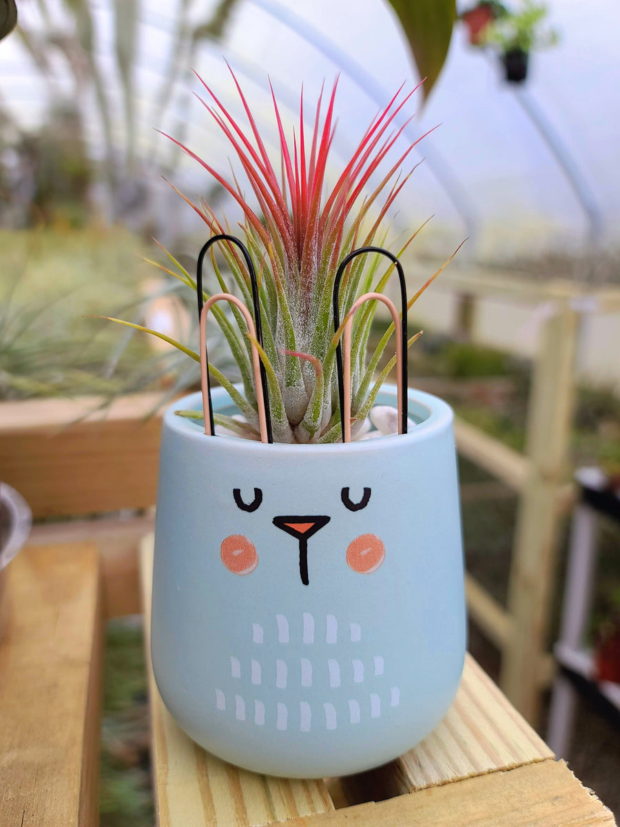 Blue Bunny Holder with Airplant