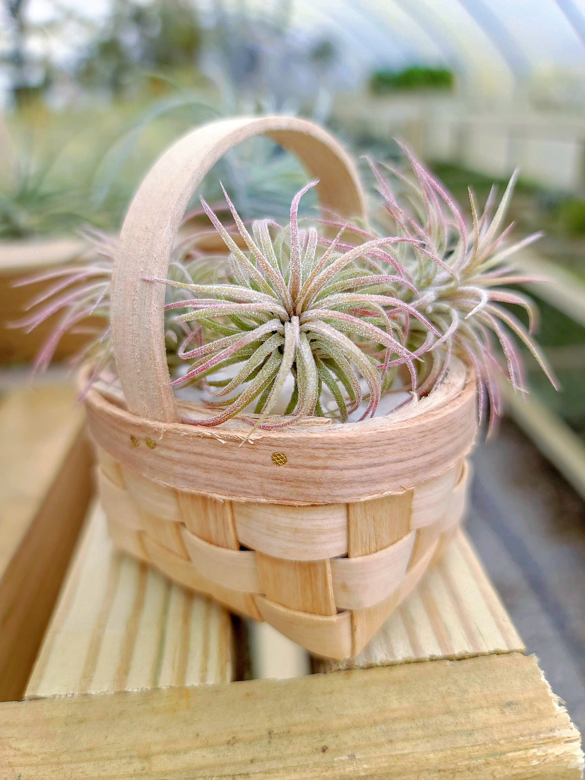 Basket with 3 Ionantha Airplants