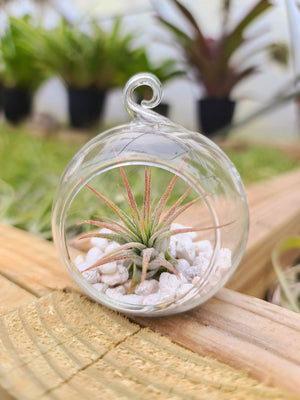 Small Glass Globe Holder with Airplant