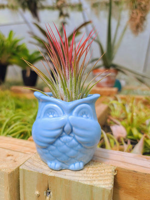 Blue Ceramic Owl + Ionantha XL
