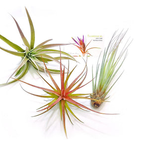 "Air Plant Variety Pack (3, Large 4-5""+)"
