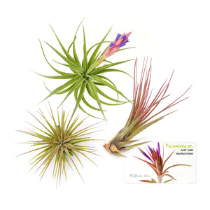 "Air Plant Variety Pack (3, Medium 3""+)"